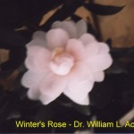 Winter's Rose